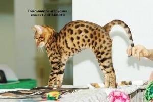 Бенгальский кот по выгодной цене