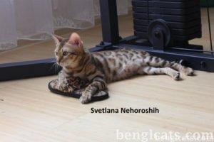 Цена бенгальской кошки в Челябинске