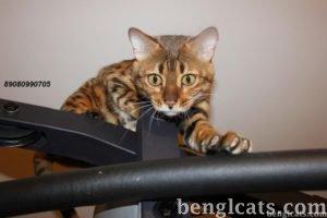 Цена бенгальского кота