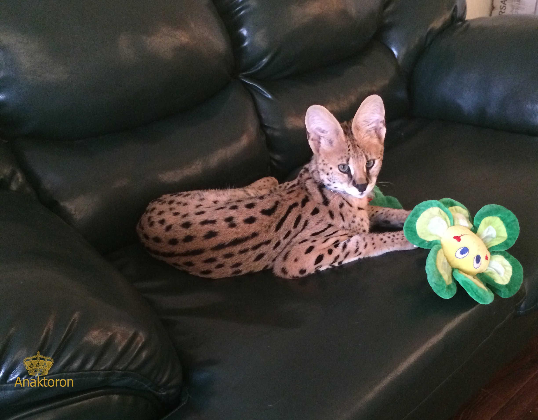 serval-link
