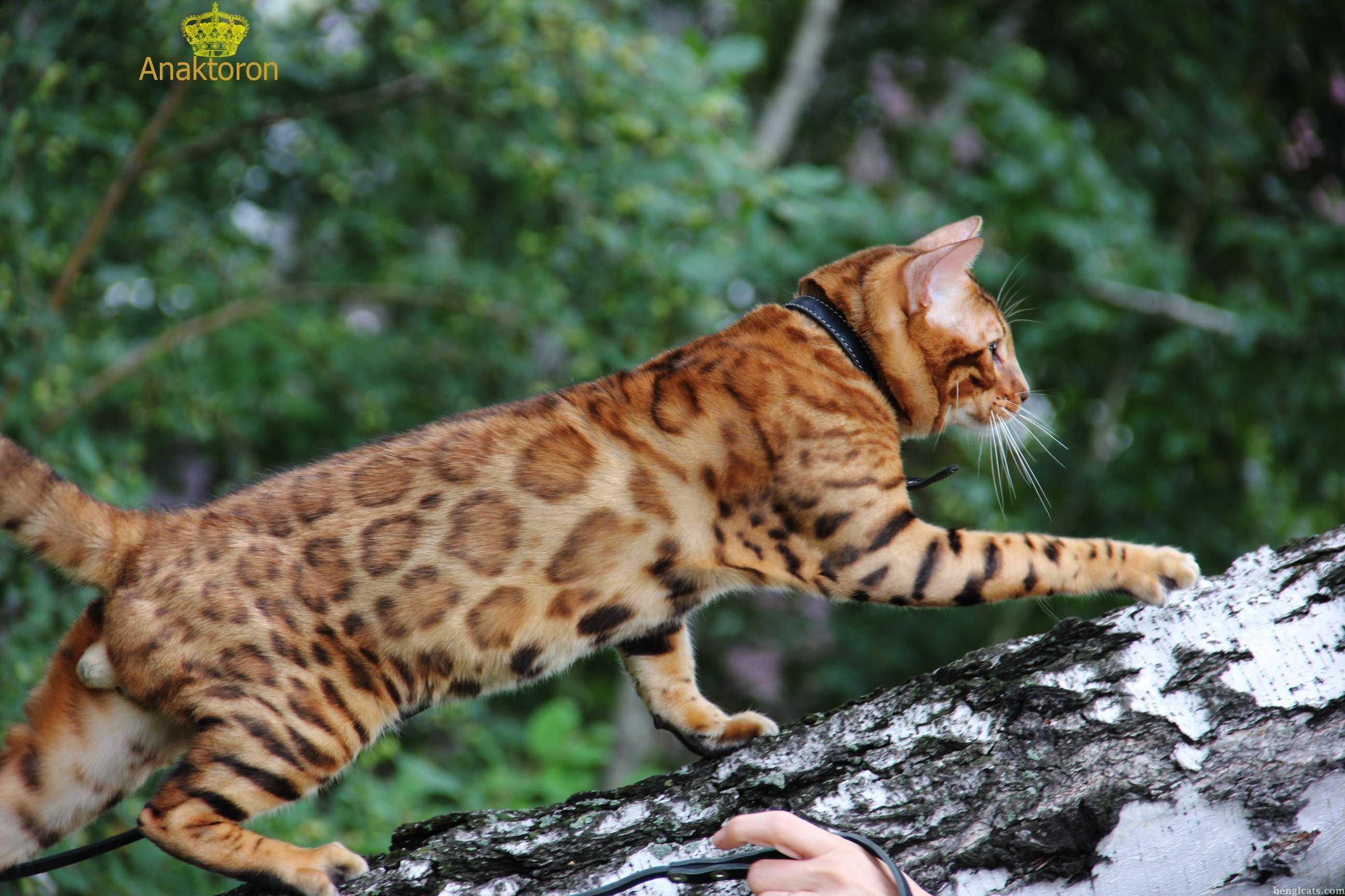 бенгальский кот Salem Glamour Bengal