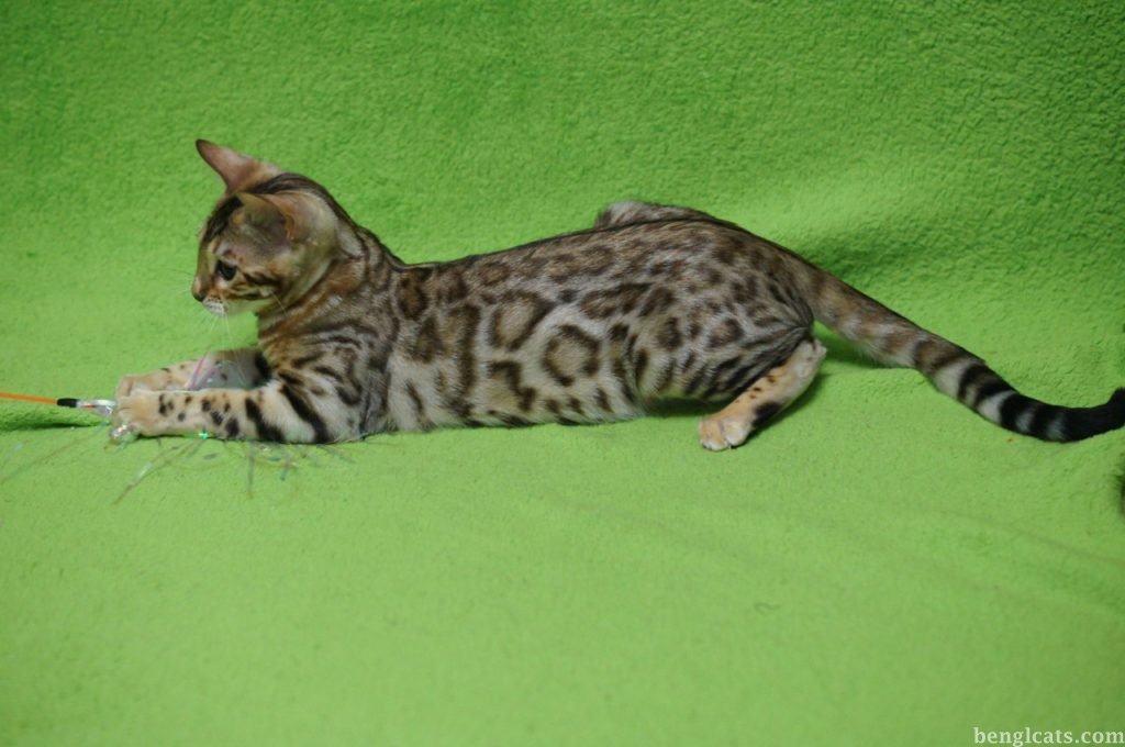 бенгальская кошка Kissana Rio Pamela