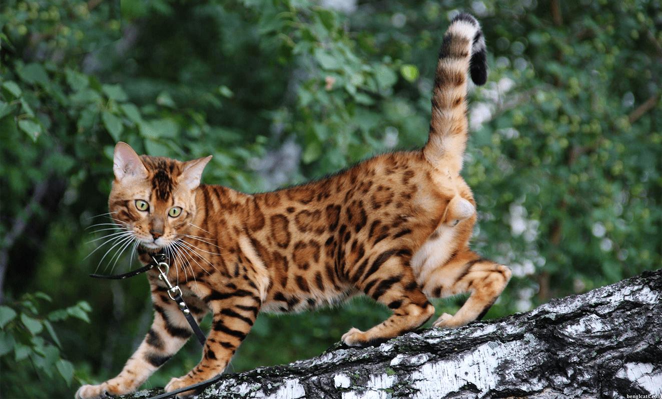 pro-cat