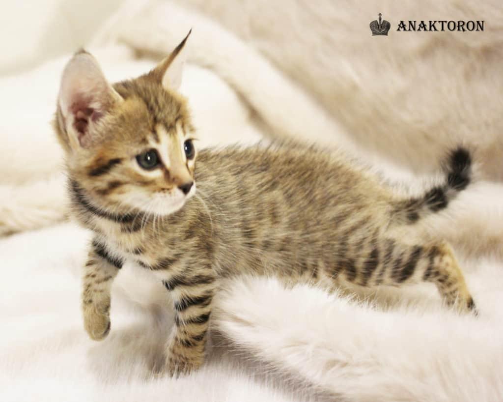 Котята питомника Анакторон