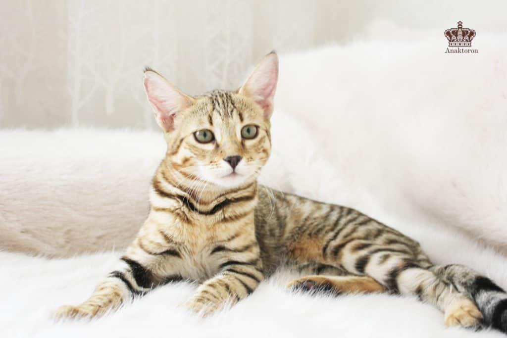 чаузи от камышового кота