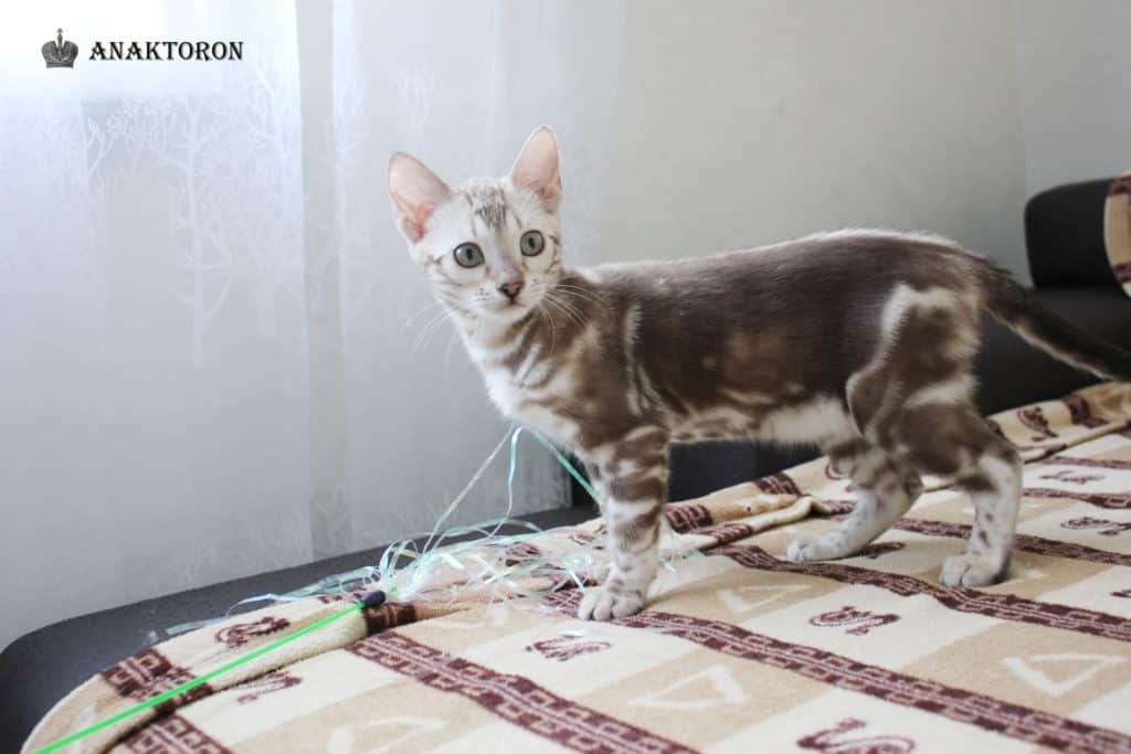 bengal cats marble