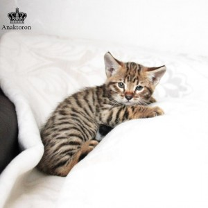 Котенок чаузи в питомнике Анакторон