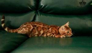 Бенгальская кошка в питомнике Bengal-Cats