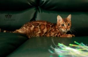 Бенгальская кошка по выгодной цене