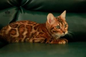 Питомник Bengal-Cats