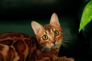Бенгальская кошка в Челябинске