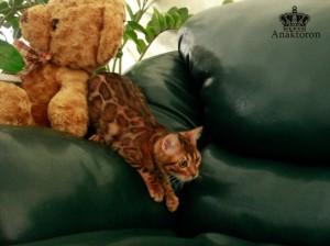 Купить бенгальскую кошку в Челябинске