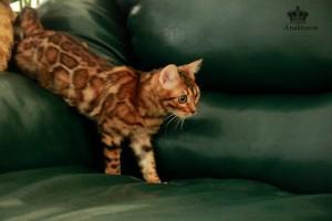 Купить бенгальскую кошку