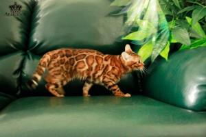 Бенгальская кошка в питомнике